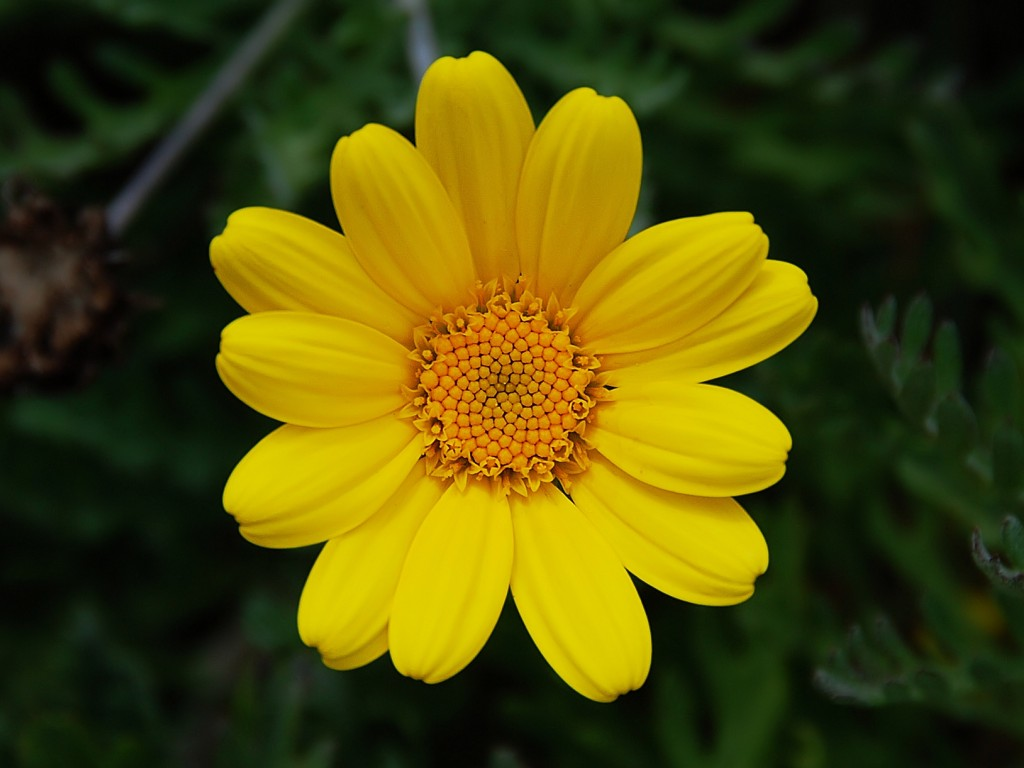 1 flower png royalty free download Yellow flower 1 wallpaper | 1024x768 | #32588 png royalty free download