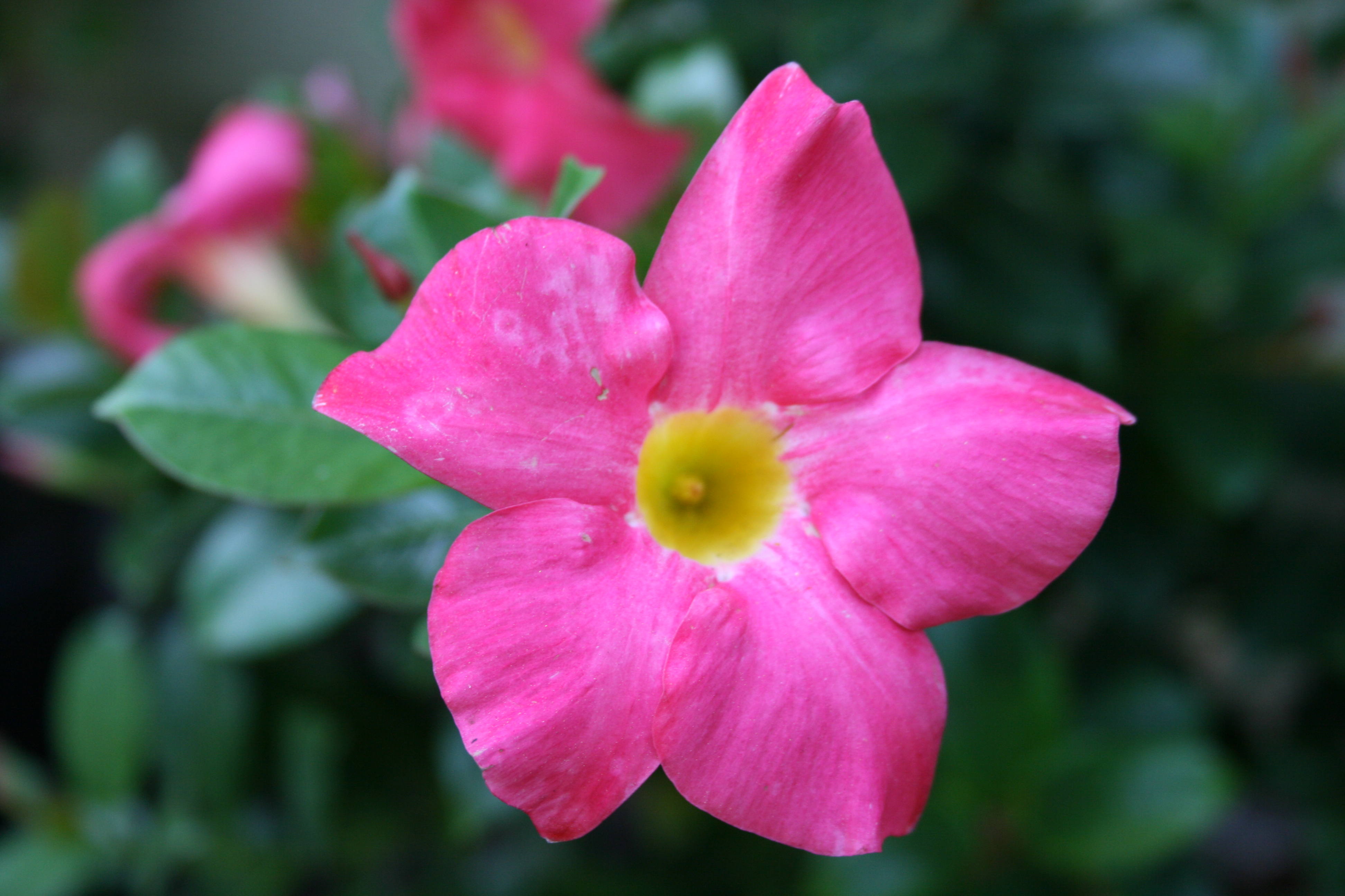 1 flower graphic freeuse library File:Diplademia Flower 1 Digon3.JPG - Wikimedia Commons graphic freeuse library