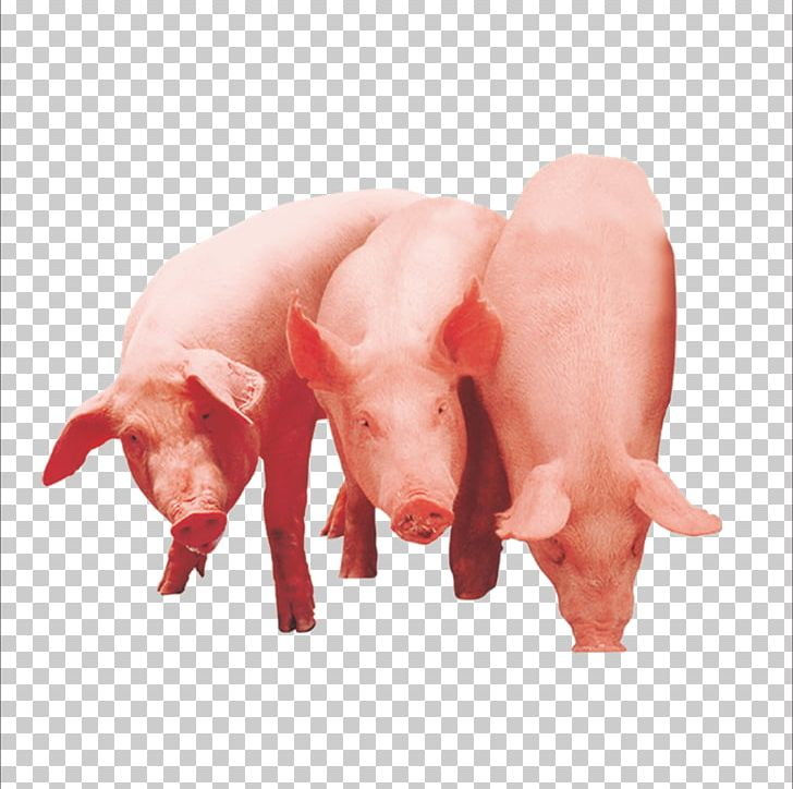 11 pigs clipart image transparent Domestic Pig The Three Little Pigs PNG, Clipart, Animals, Download ... image transparent