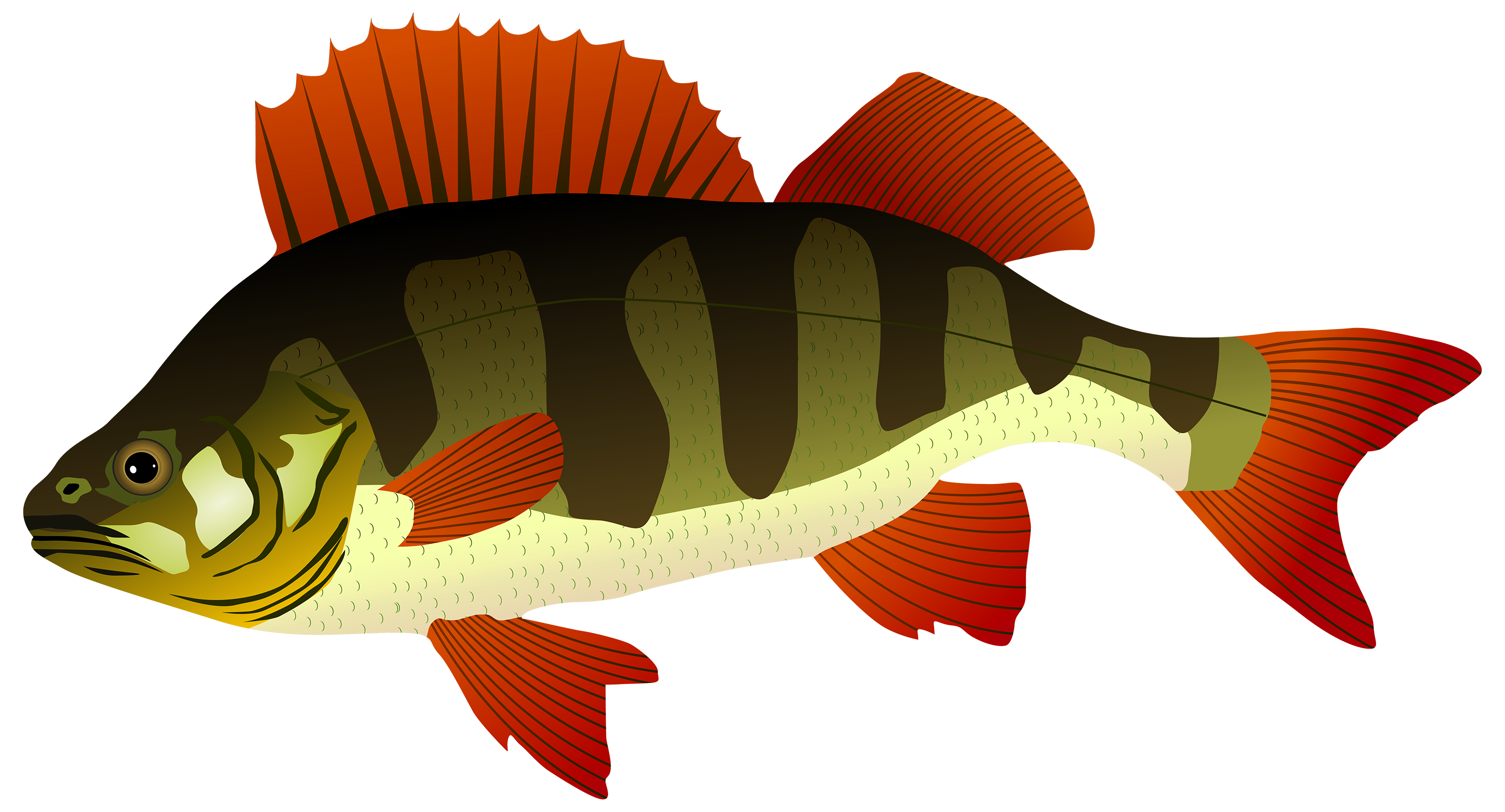 Realistic cool fish clipart images clipart free stock Bass Fish Clipart at GetDrawings.com | Free for personal use Bass ... clipart free stock