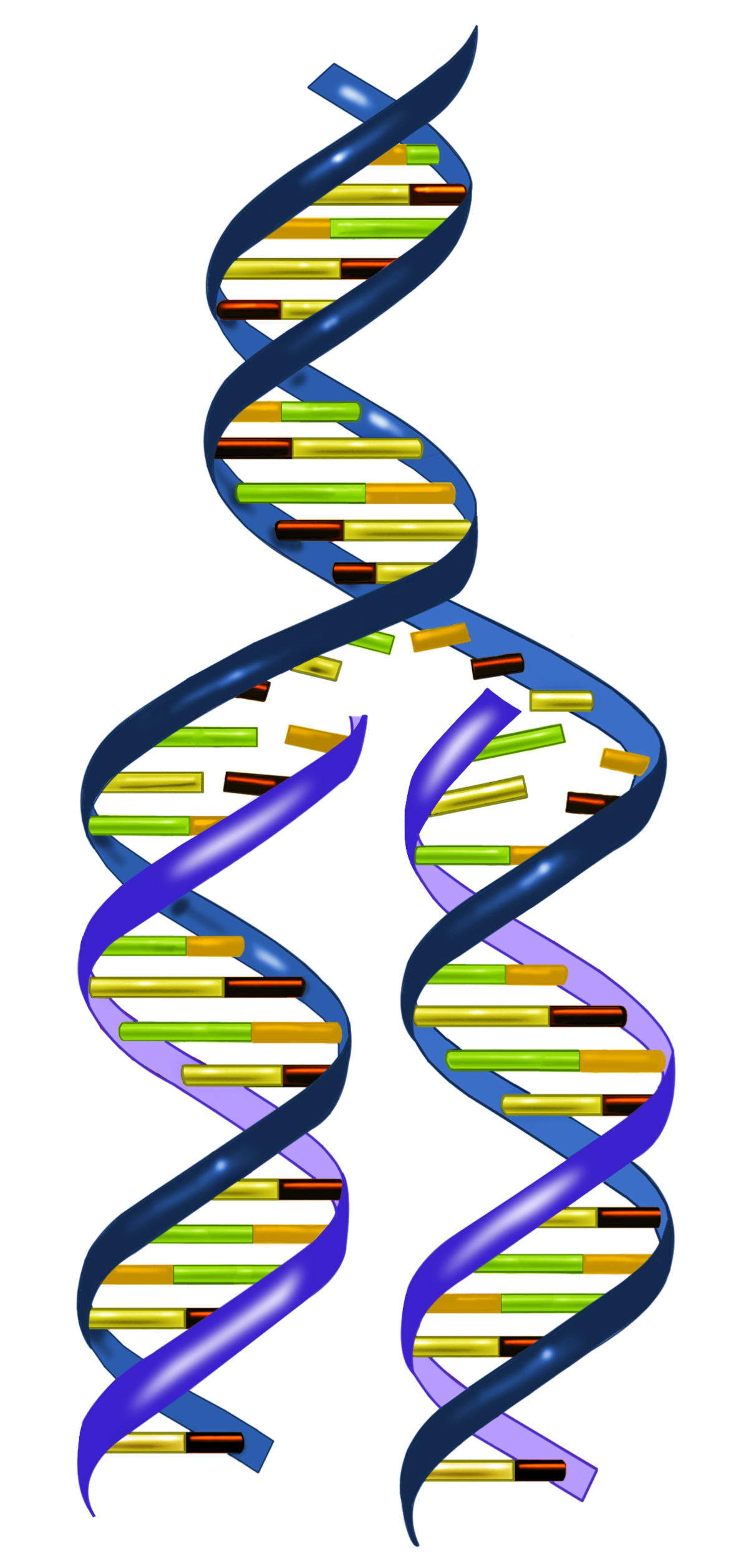 2 dna strands clipart jpg black and white download Biotechnology: Basic Rules of DNA Replication jpg black and white download