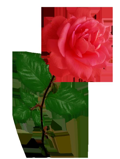 2 roses clipart vector transparent Rose Clipart vector transparent