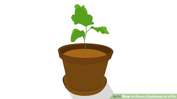 3 plant container clipart picture royalty free library The Easiest Way to Grow a Sunflower in a Pot - wikiHow picture royalty free library