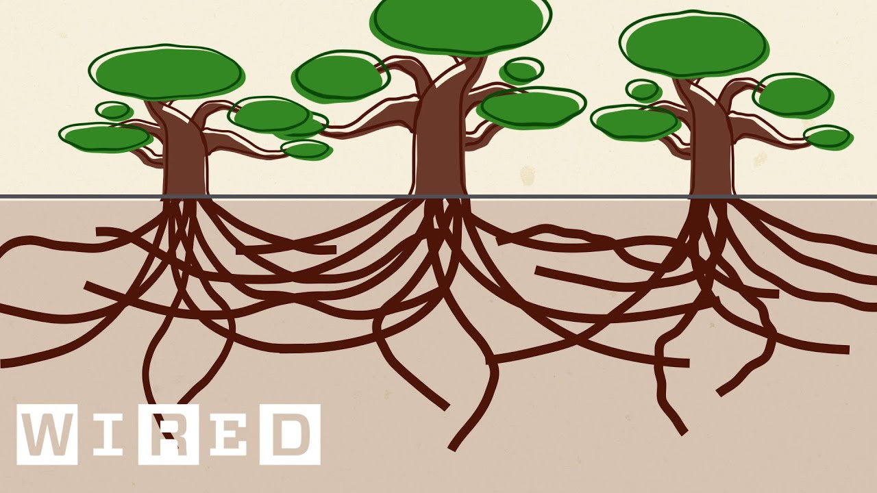3 trees connected by roots clipart clip library stock Using Live Oak Trees as a Blueprint for Surviving Hurricanes   Think Like a  Tree clip library stock