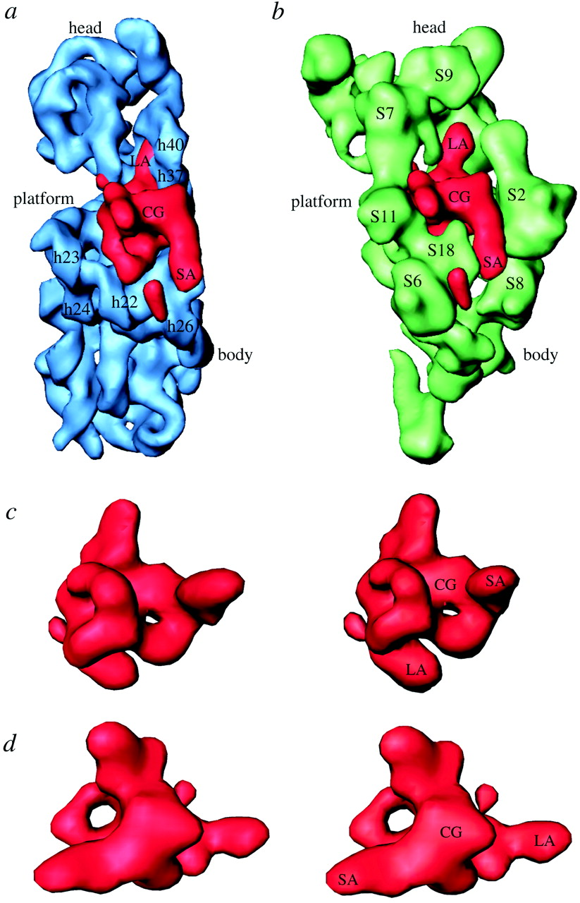 30s ribosome clipart clip art Visualization of protein S1 within the 30S ribosomal subunit and its ... clip art