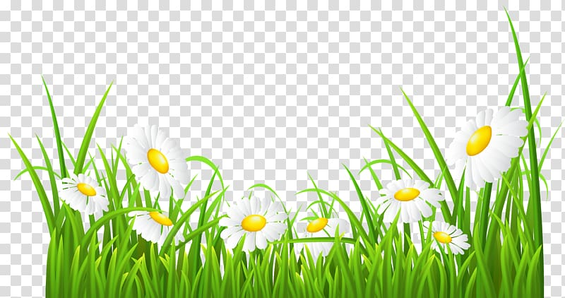 3d paint daisy clipart clip transparent White flowers illustration, Common daisy , White Daisies and Grass ... clip transparent