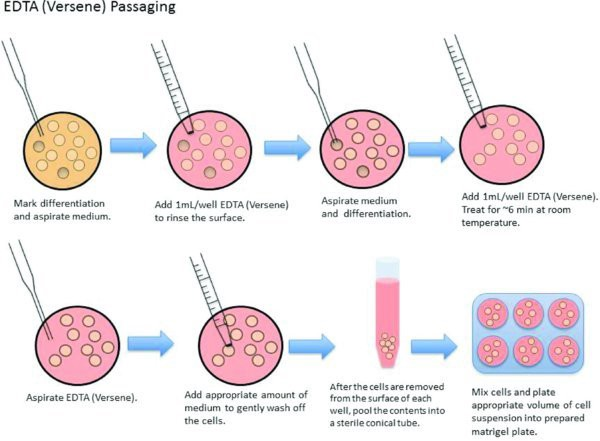 6-well cell clipart banner library Comet Assay and Cell Cultures - Maiuri Maheswaran - Medium banner library