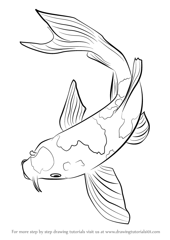 A drawing of a fish in a roll clipart png stock Koi Fish belongs tot he C. carpio specie. In this tutorial, we will ... png stock