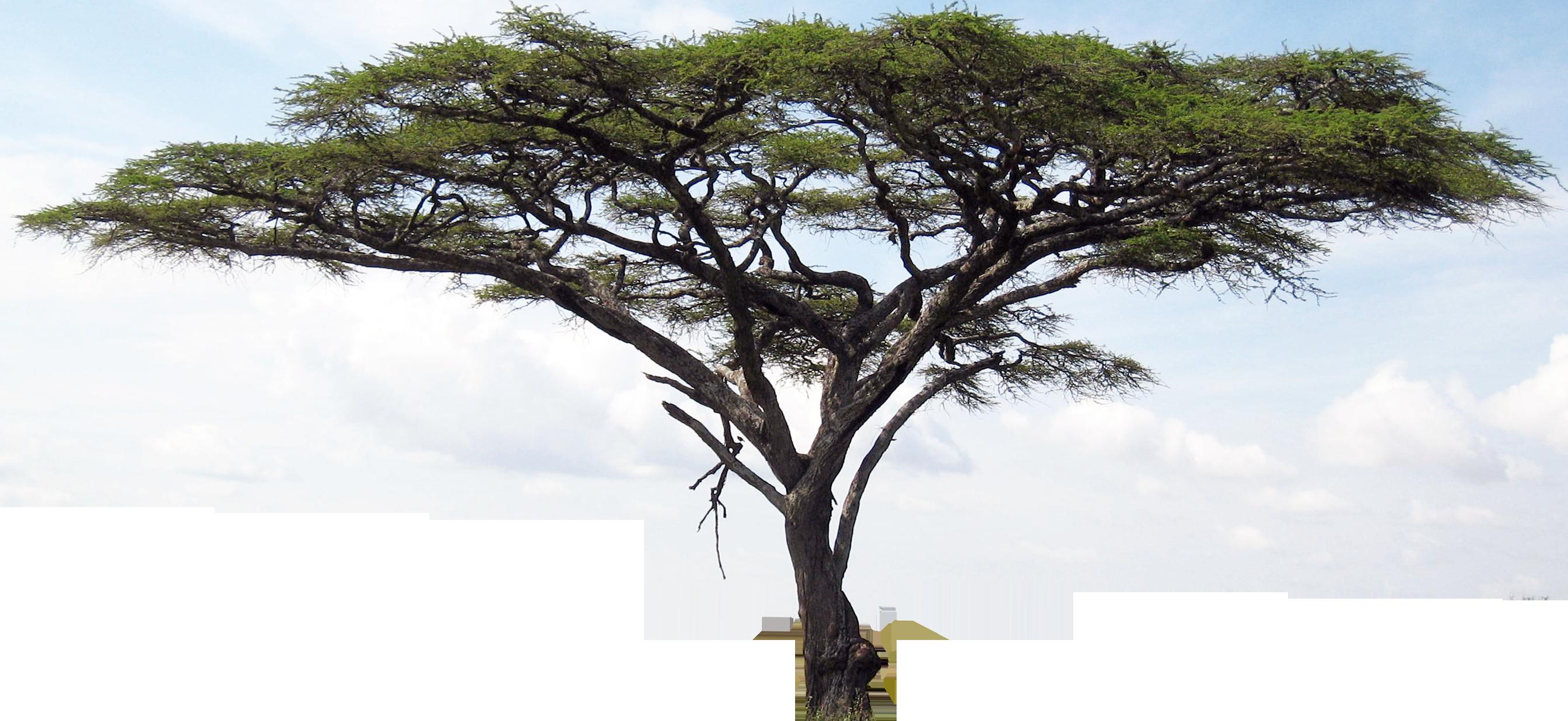Savanna tree clipart graphic black and white library acacia tree clipart accacia 2 - Clip Art. Net graphic black and white library