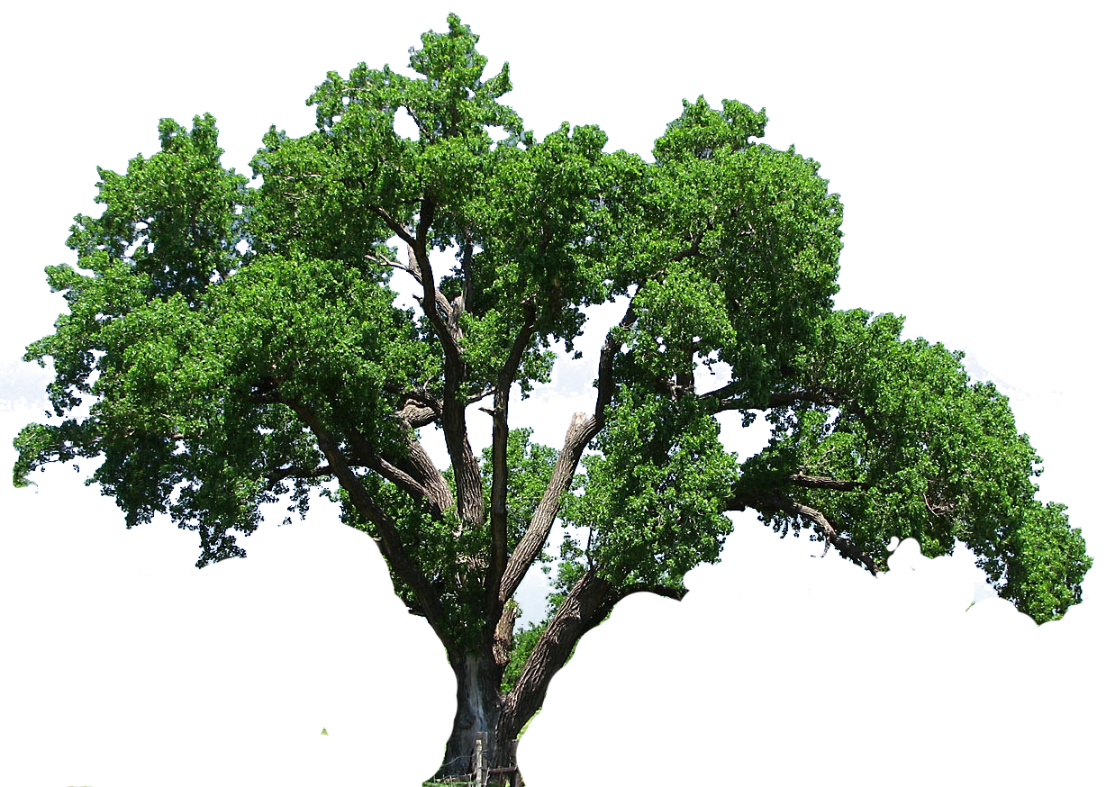 Banyan tree clipart clip freeuse 28+ Collection of Live Oak Clipart | High quality, free cliparts ... clip freeuse