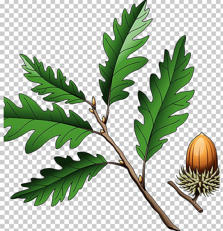 Acorns on twig clipart clip freeuse Southern Live Oak Quercus Coccinea Quercus Cerris Illustration PNG ... clip freeuse