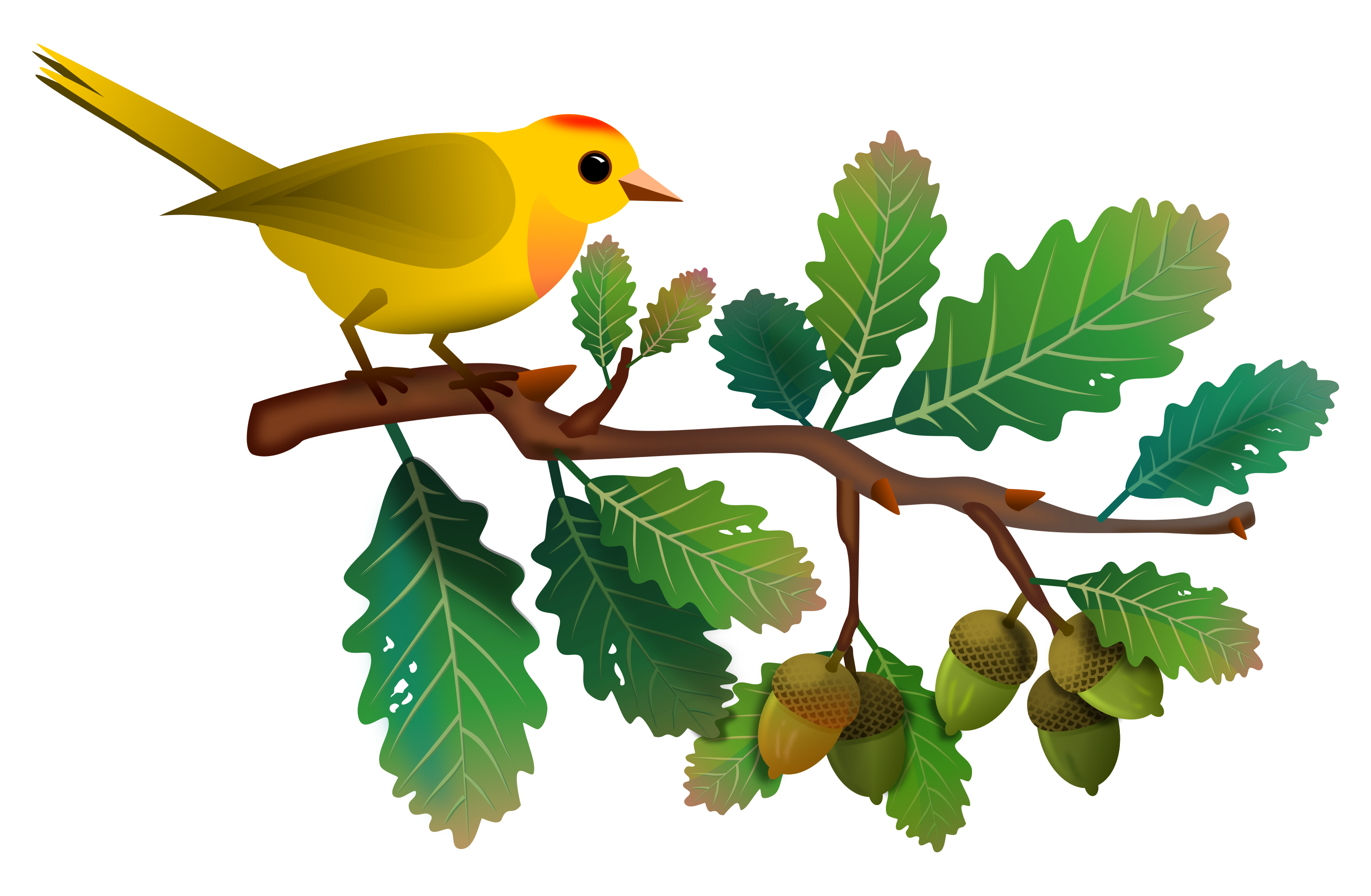 Acorns on twig clipart clip library Yellow bird on oak branch with acorns 3058x2000 | Clip Art Everyday ... clip library