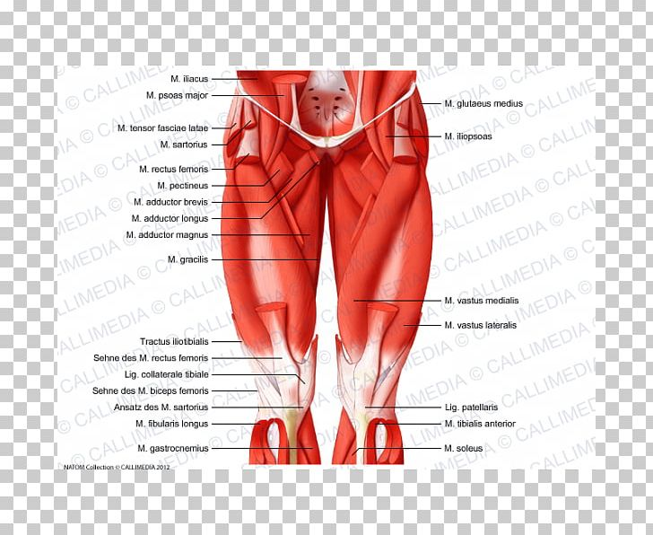 Muscles Of The Hip Thigh Anatomy PNG, Clipart, Abdomen, Adductor ... image transparent