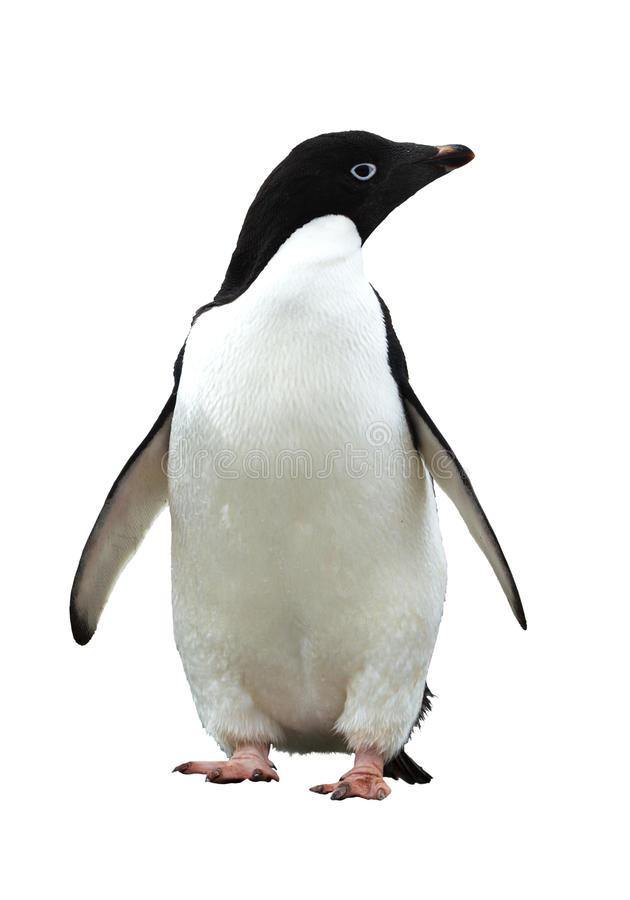 Penguins clipart adelie penguin - 193 transparent clip arts, images ... graphic library stock