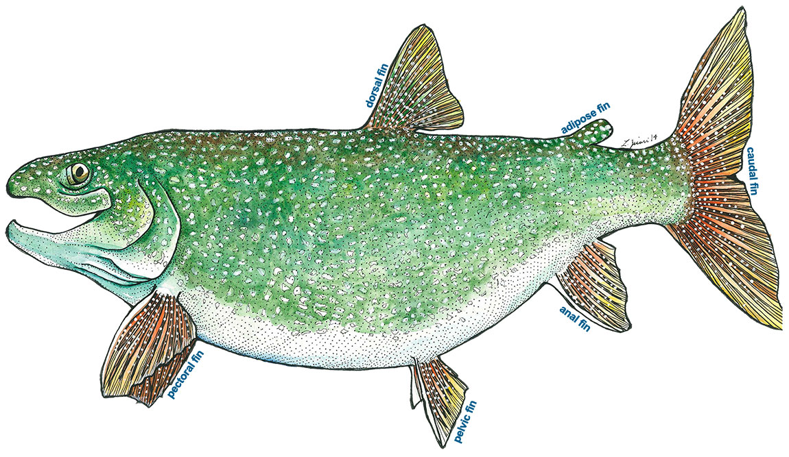 Adipose fin clipart jpg transparent download Fish Migration - Lake trout jpg transparent download