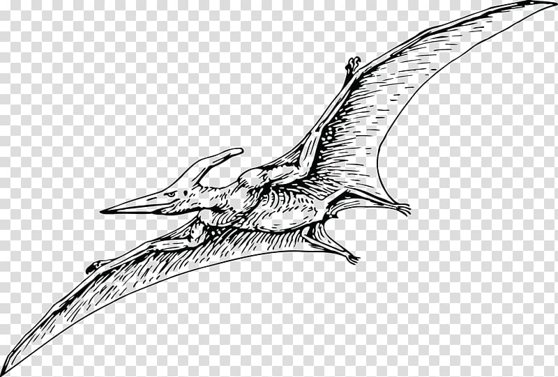 Adult pterodactyl clipart graphic black and white library Pterodactyls Pteranodon Pterosaurs Fregatidae Dinosaur, dinosaur ... graphic black and white library