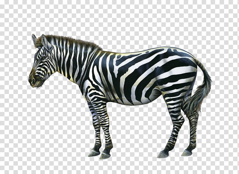 Aesthetic clipart zebra png library Zebra, black and white zebra transparent background PNG clipart ... png library