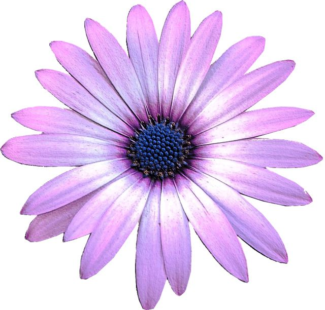 African daisy clipart clip art Purple Daisy flower clipart, 15cm embossed | Projects to Try ... clip art