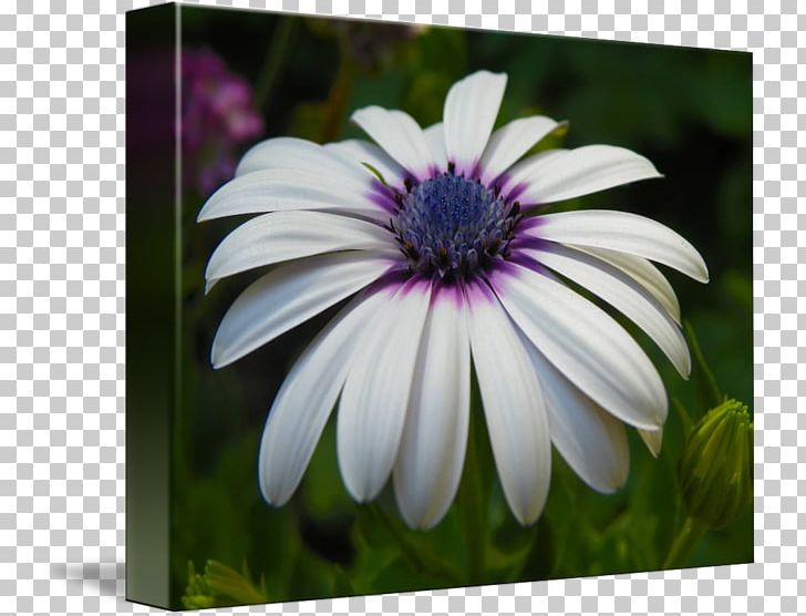 African daisy clipart picture black and white stock Common Daisy African Daisies Flower Seed Oxeye Daisy PNG, Clipart ... picture black and white stock