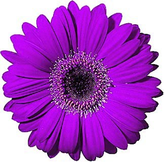 African daisy clipart png library Gerbera daisy clipart 1 » Clipart Portal png library