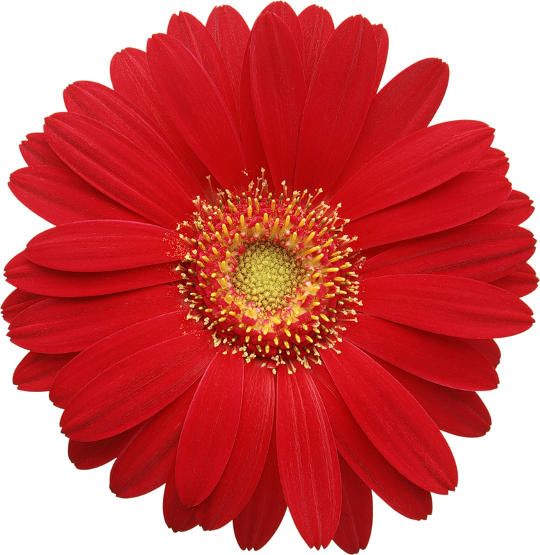 Daisy flower border clipart clip transparent download Red Gerber Daisy Clipart | CARDS 3D | Pinterest | Flowers clip transparent download