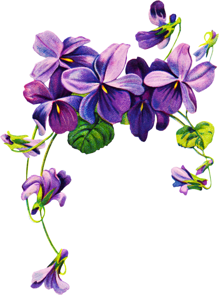 African violets clip art. Free clipart may with geranium border