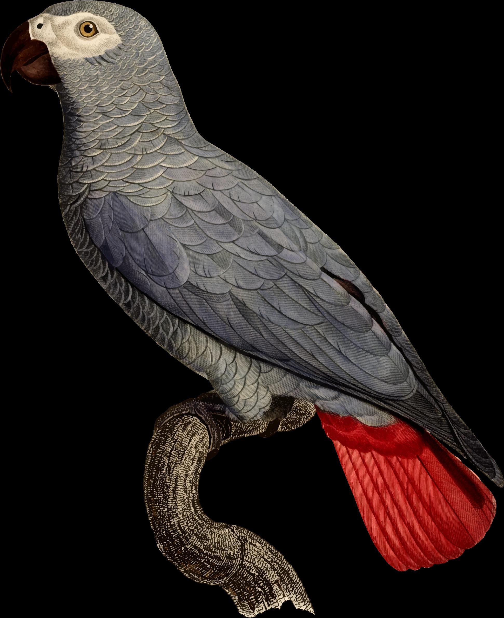 African grey clipart turkey banner transparent Clipart - Parrot 37 banner transparent