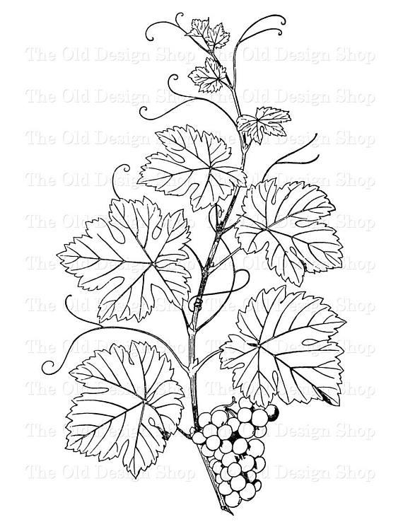 Agrape vines q clipart black and white svg Botanical Clip Art Grapes on the Vine Vintage Illustration Digital ... svg