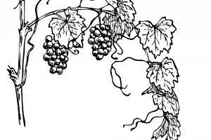 Agrape vines q clipart black and white graphic download Grape vine clipart black and white » Clipart Portal graphic download