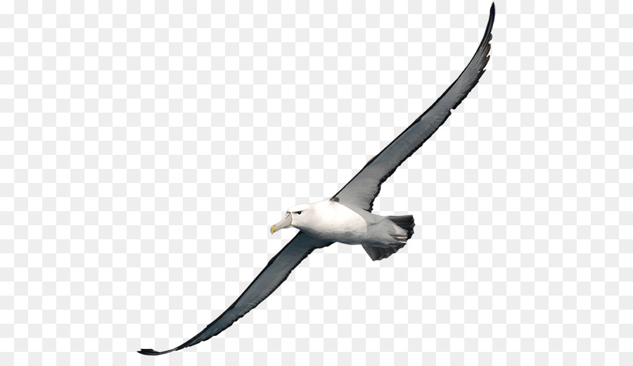 Albatross clipart png black and white stock Bird Wing png download - 513*506 - Free Transparent Albatross png ... png black and white stock