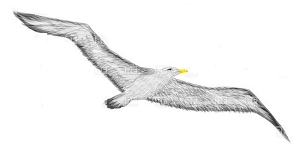 Albatross clipart picture freeuse stock Free Albatross Clipart picture freeuse stock