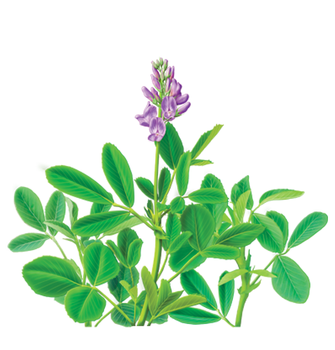 Alfalfa plant clipart royalty free download Alfalfa PNG Transparent Image   PNG Mart royalty free download