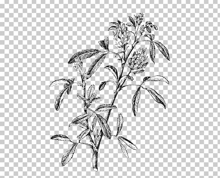 Alfalfa plant clipart jpg library download Alfalfa Plant Stem Leaf Flowering Plant PNG, Clipart, Alfalfa ... jpg library download