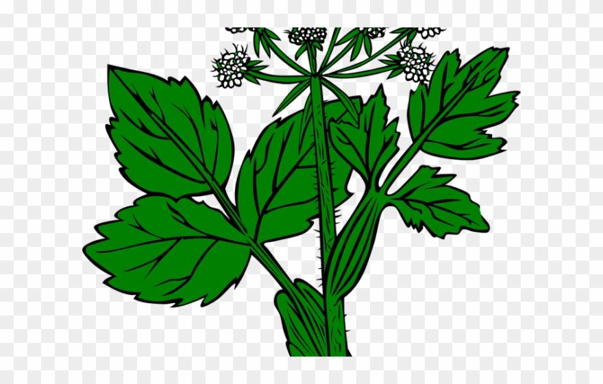 Alfalfa plant clipart clip royalty free stock Weed Clipart Wild Plant - Alfalfa Dibujo - Png Download (#703705 ... clip royalty free stock