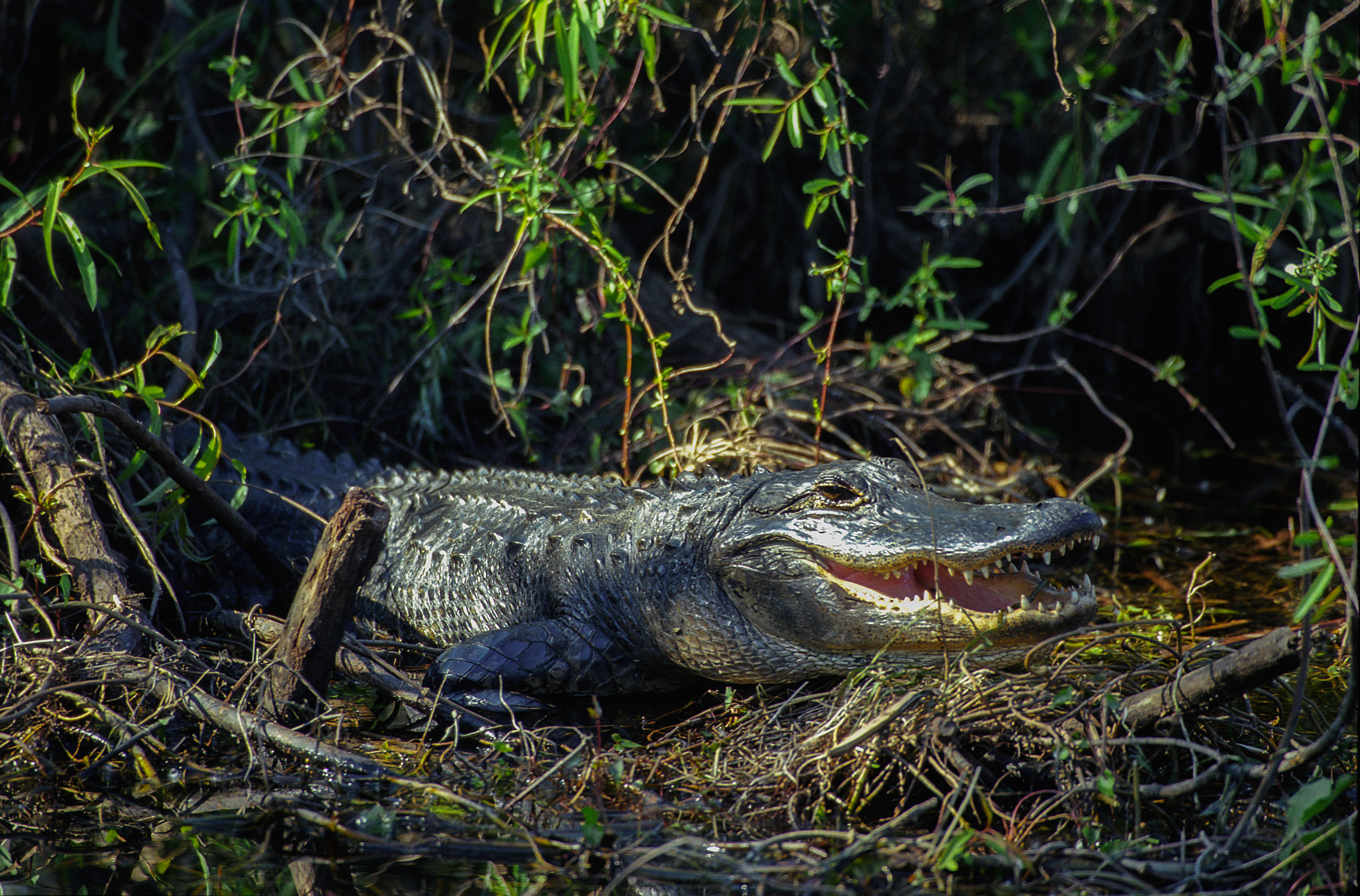 Alligator in the everglades clipart clip art freeuse File:Everglades31(js)-American alligator.jpg - Wikimedia Commons clip art freeuse