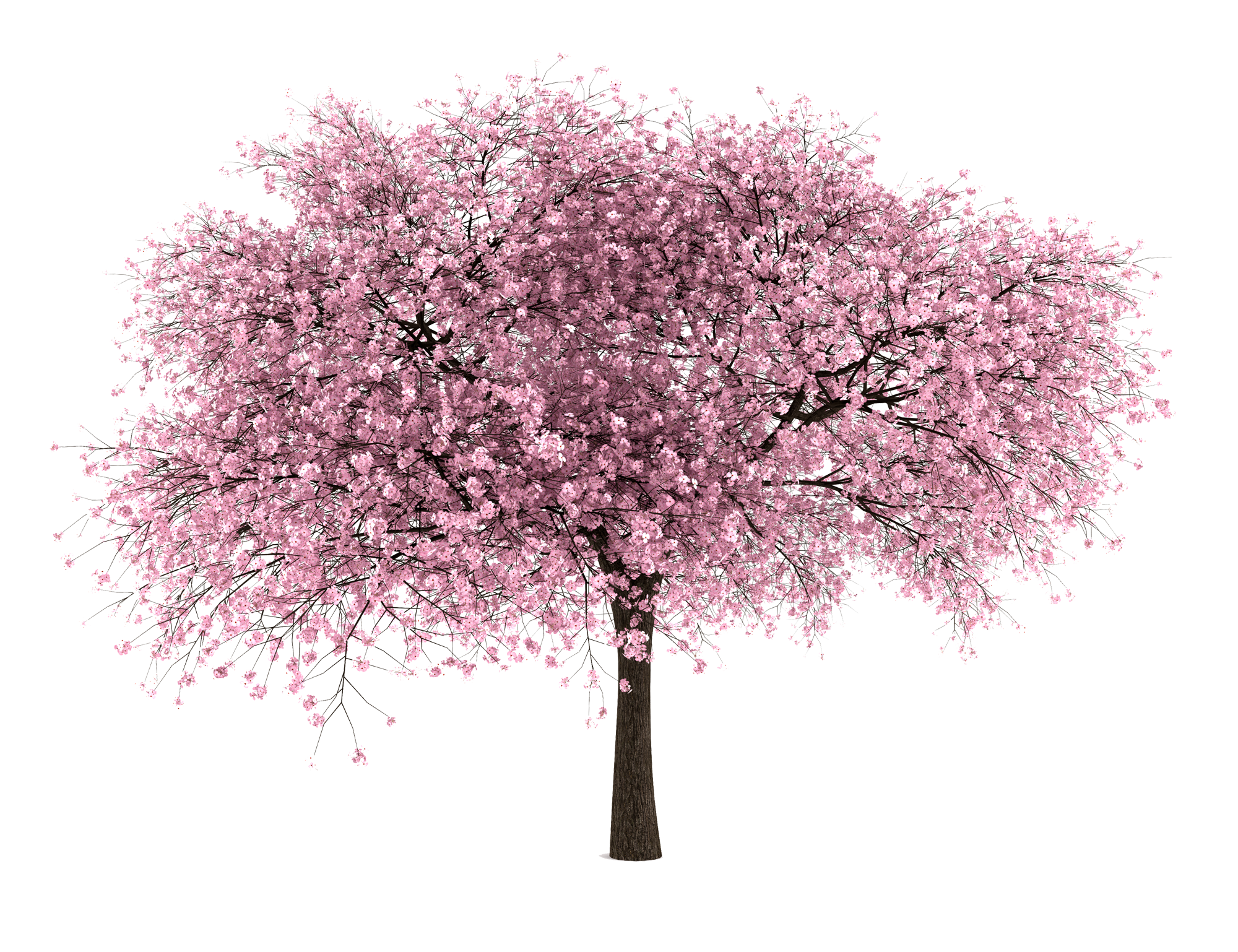 Almond tree clipart png stock Almond tree png #32812 - Free Icons and PNG Backgrounds png stock