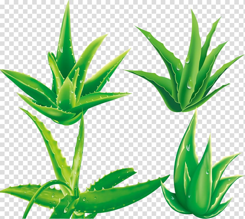 Aloe striata clipart svg black and white stock Aloe vera Plant, Aloe,plant transparent background PNG clipart   PNGGuru svg black and white stock