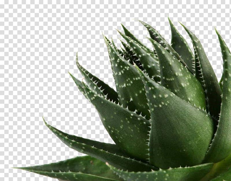 Aloe striata clipart png transparent Aloe vera Gel Plant, Aloe transparent background PNG clipart   HiClipart png transparent
