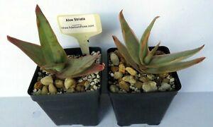 Aloe striata clipart picture library download Details about Coral Aloe Striata Real Live Plant Succulent 4\