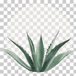 Aloe striata clipart picture black and white stock Aloe vera Succulent plant Centuryplant Aloe arborescens Aloe striata ... picture black and white stock