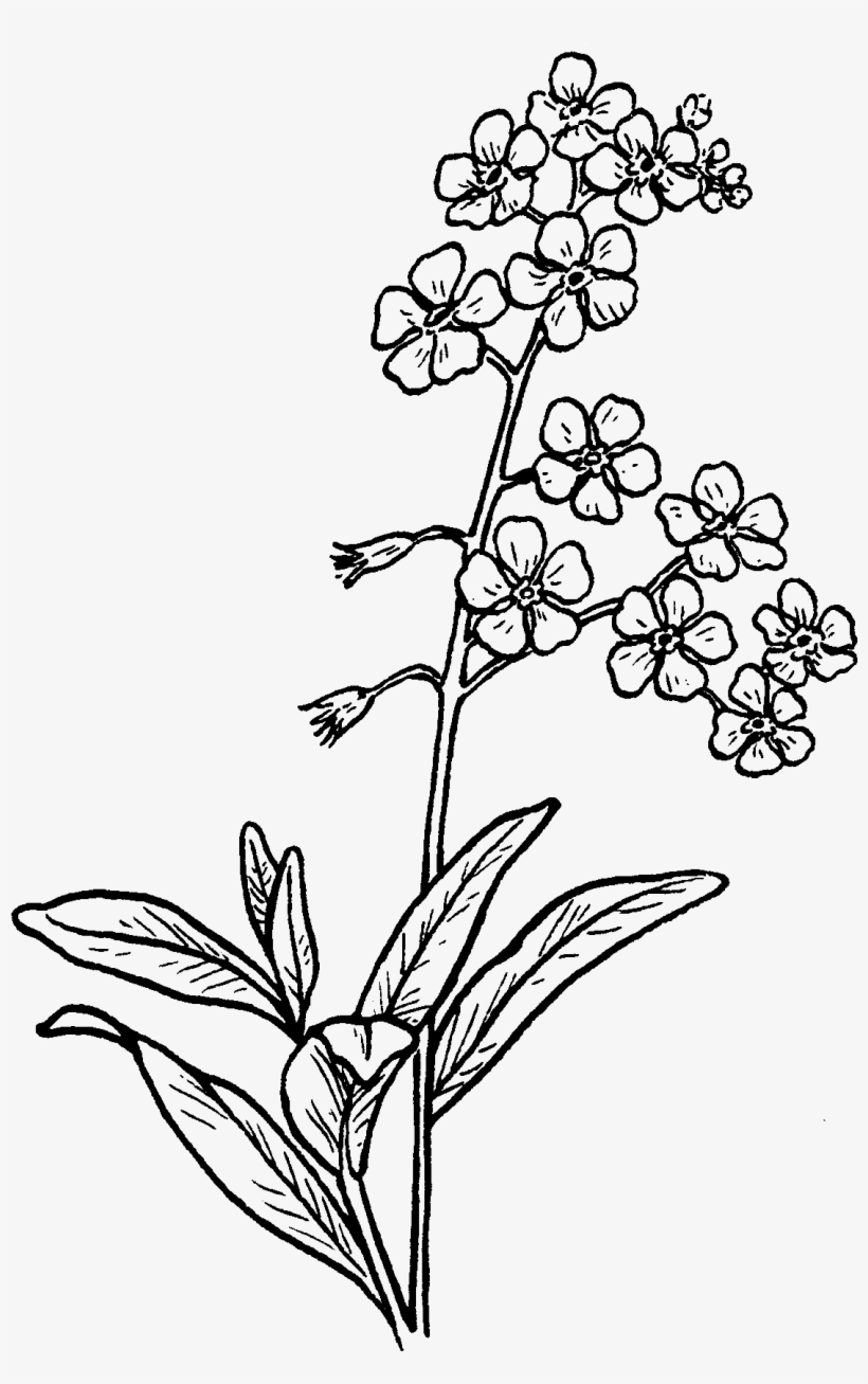 Alpine forget me not clipart outline black and white clip art freeuse download Forget Me Not Drawing At Getdrawings - Forget Me Not Flower Drawing ... clip art freeuse download