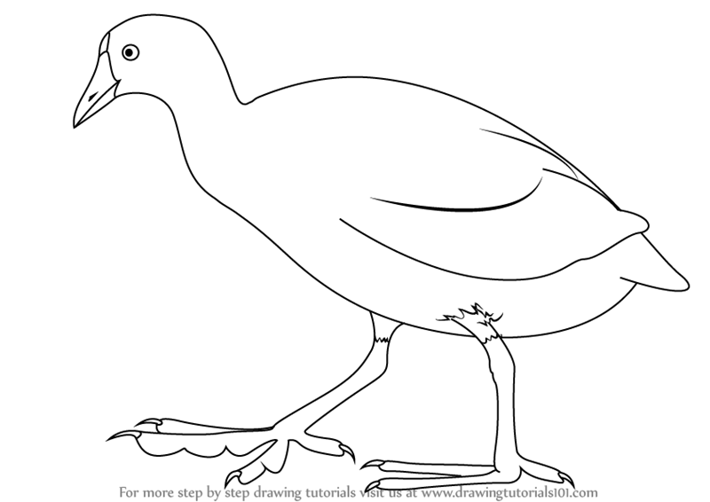 American coot clipart clip transparent library Learn How to Draw an American Coot (Birds) Step by Step : Drawing ... clip transparent library