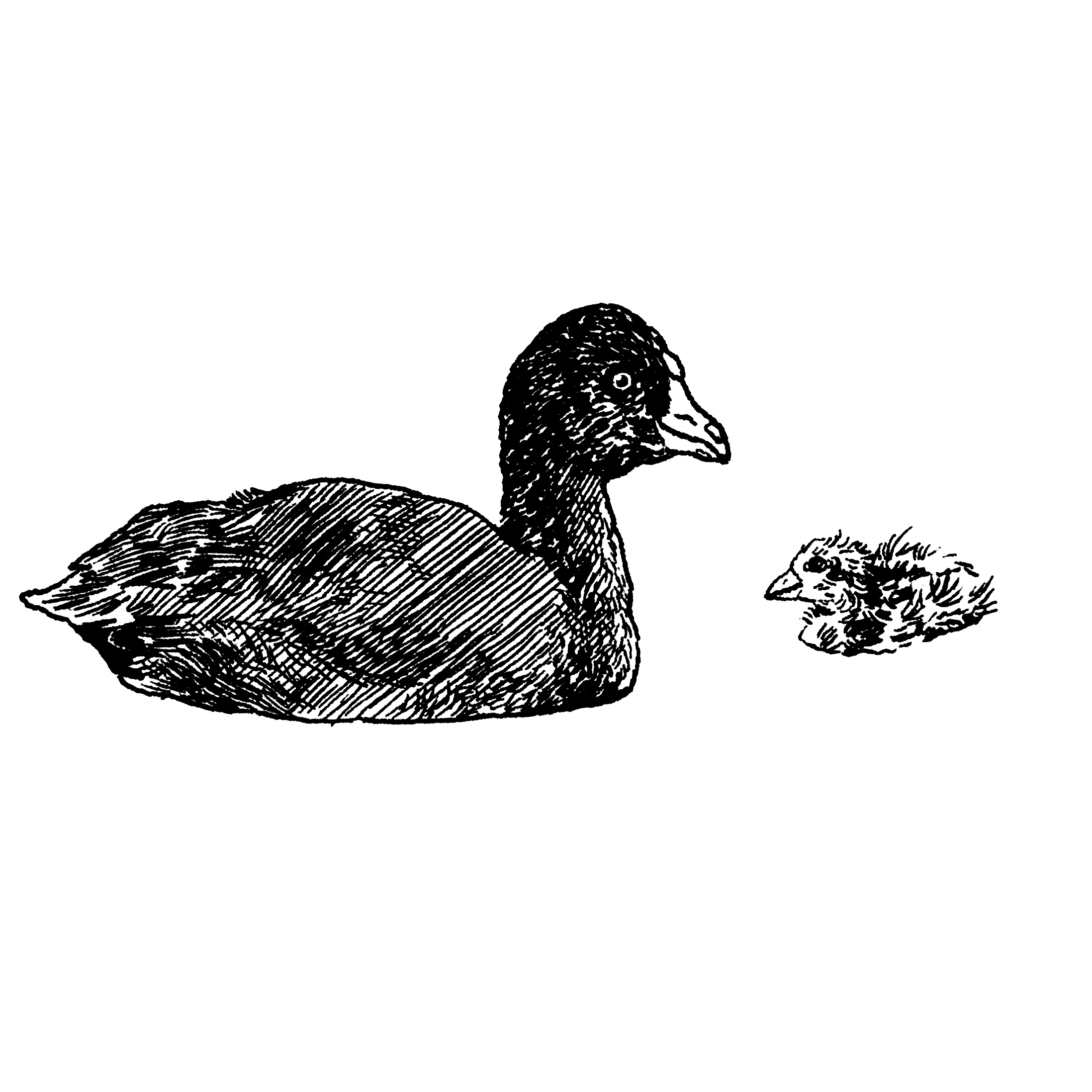 American coot clipart png transparent library The American Coot | Audubon png transparent library