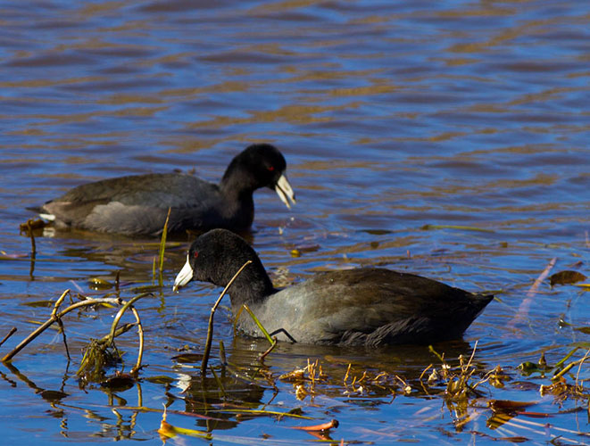 American coot clipart vector free download American Coot Photos - Smithsonian Migratory Bird Center vector free download