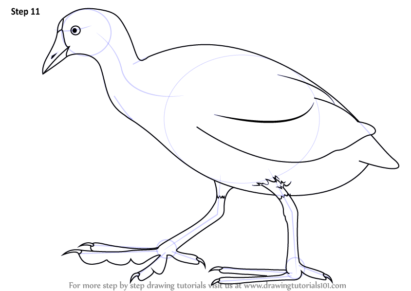 American coot clipart picture free stock Learn How to Draw an American Coot (Birds) Step by Step : Drawing ... picture free stock