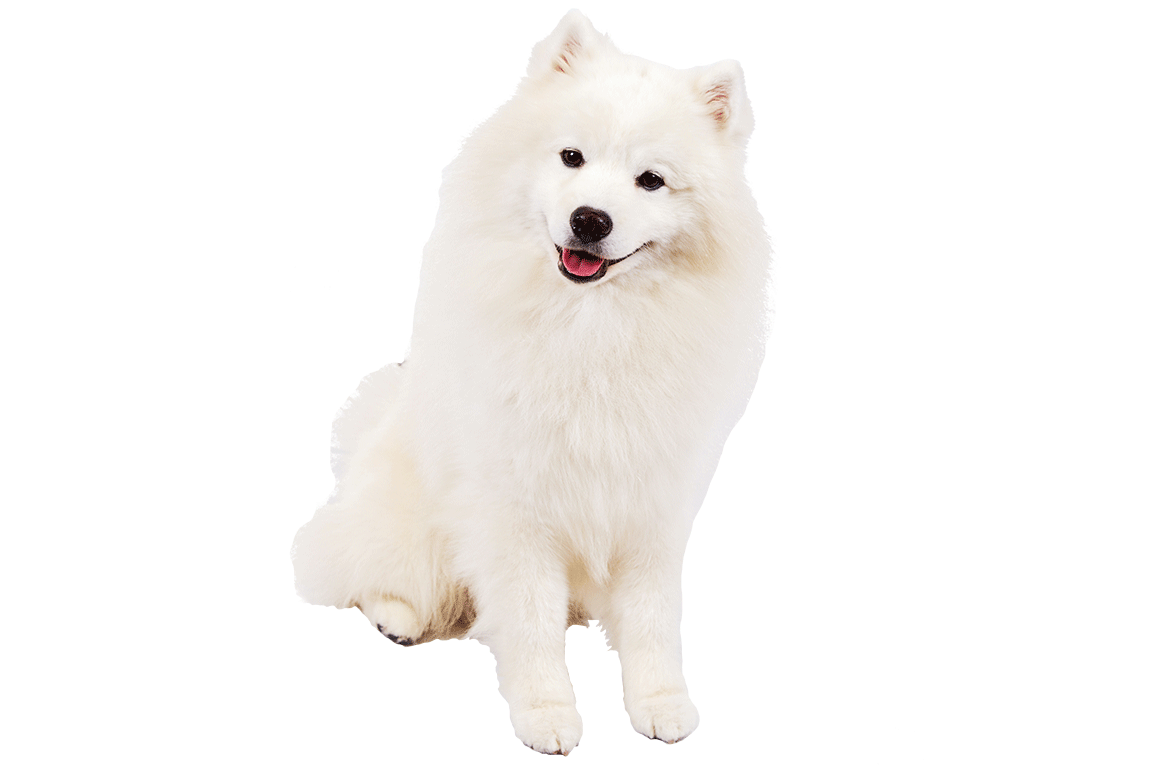American eskimo dog clipart banner freeuse Copy Of Period 2, Mastick, Paige Bcj - Lessons - Tes Teach banner freeuse