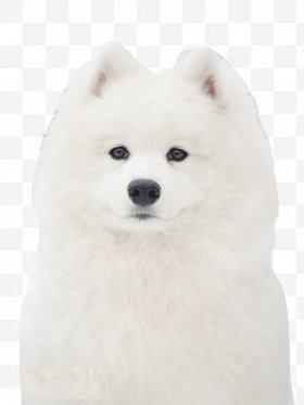 American eskimo dog clipart translucent clip free stock Canadian Eskimo Dog Images, Canadian Eskimo Dog PNG, Free download ... clip free stock