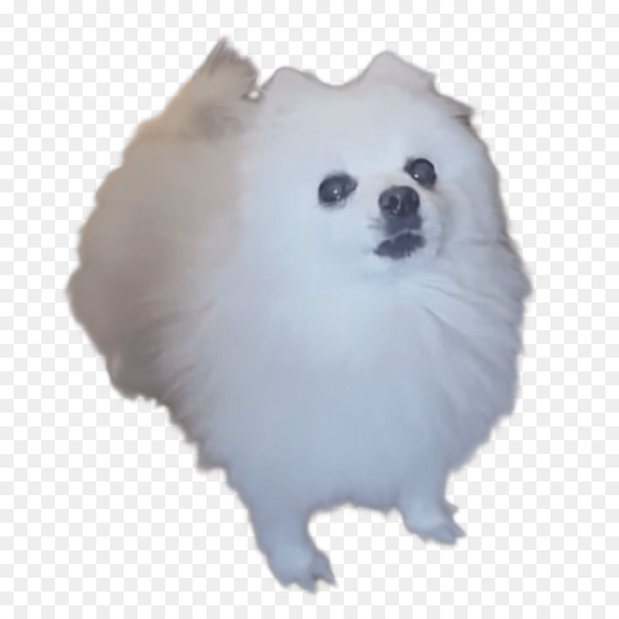 American eskimo dog clipart translucent graphic freeuse stock Pomeranian Background clipart - Dog, Puppy, transparent clip art graphic freeuse stock