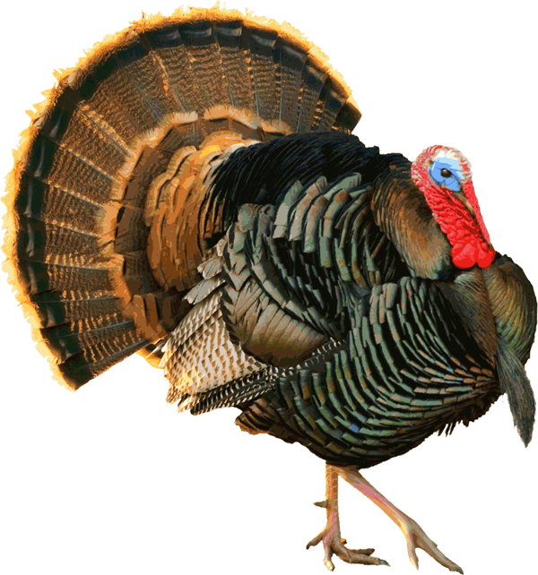 Vintage turkey clipart picture Another Proud Tom Turkey | Pinterest | Tom turkey, Clip art and ... picture