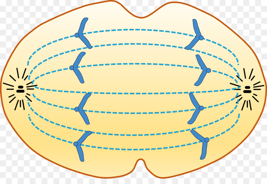 Anaphase clipart